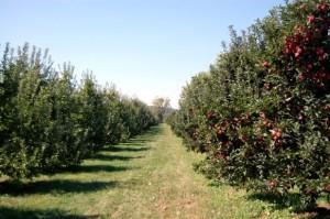 Apple Picking 2010